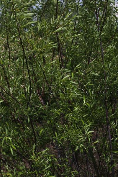 фото побега ивы
